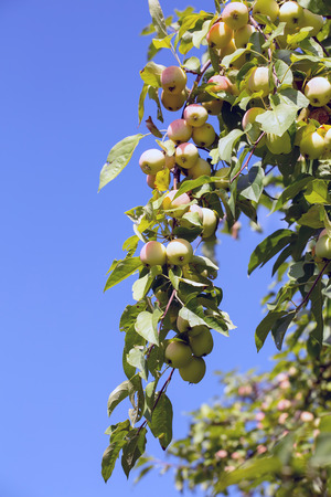 ripe apples hanging on a branch at orchard against the blue sky Stock Photo