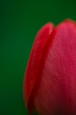 Bud of the red tulip. macro. shallow depth of field