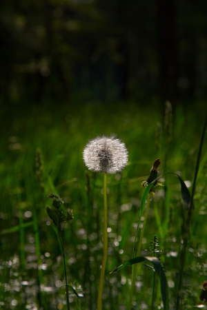 fluffy white dandelion Banco de Imagens