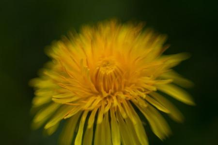yellow dandelion on a dark background. macro