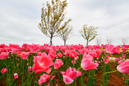 Group of pink tulips in the park agains clouds