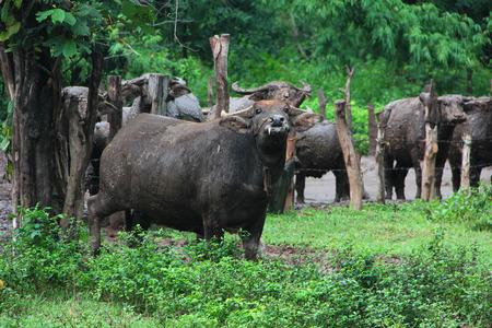 Thai Buffalo walk over the field go back home . Life Machine of Farmer. Original agriculture use buffalo plow the field.Kid buffalo drink milk Stock Photo