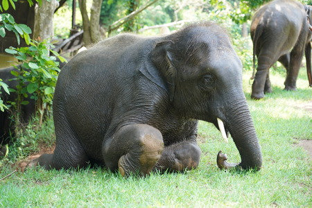 Asia elephant is sitting for bowing.