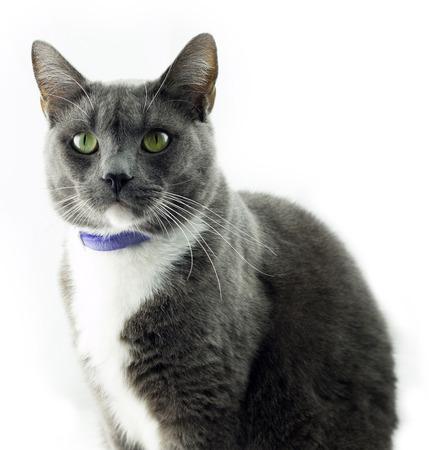 grey cat: Grey Cat