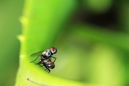 black insect mating on leaf  Stock Photo - 15429471