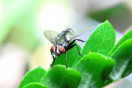 housefly: Housefly aka house fly Stock Photo