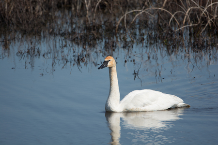 one trumpeter swan swimming along the bank