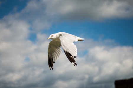 wingspan: Seagull flying with blue skys and white clouds.