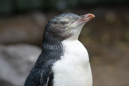 Yellowed-eyed penguin in new zealand relaxing after a rain