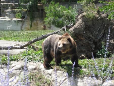 Wandering Bear at the Zoo