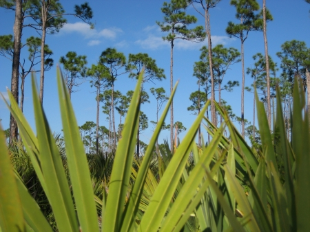 Palm and Pine Trees in Florida