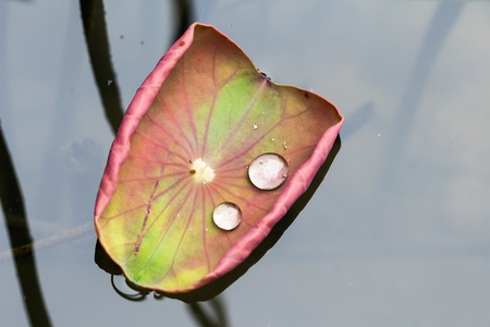wetness: water droplets on Lotus leaf for background.
