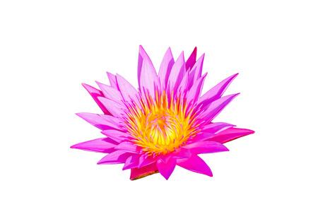Purple lotus in garden. photo