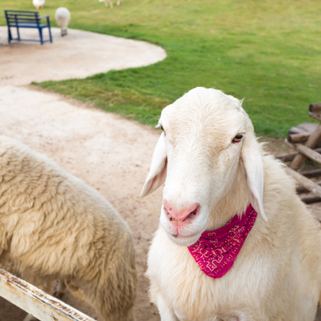 wooly: White sheep tied a red scarf in farm.