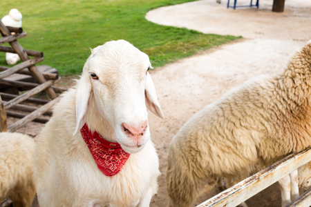red scarf: White sheep tied a red scarf in farm.
