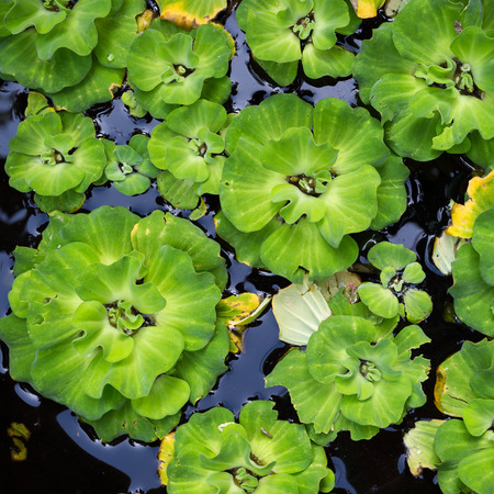 unwanted flora: Water Hyacinth ,Water plant flora float over river.