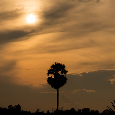 silhouette of sugar palm with sunset background