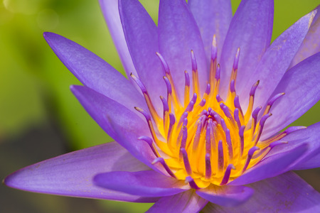 Close up of a purple water lily bloom.