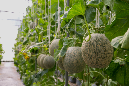 supported: Cantaloupe melons or Japanness melons  growing in a greenhouse supported by string melon nets.