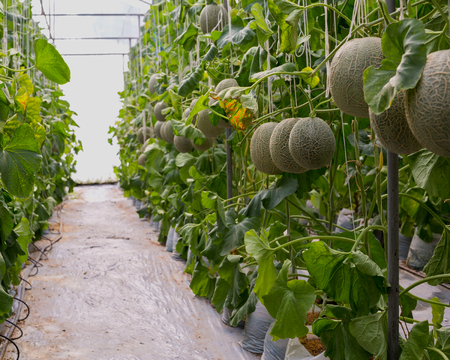 melon field: Cantaloupe melons or Japanness melons  growing in a greenhouse supported by string melon nets.