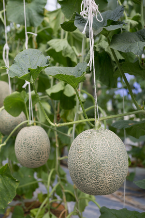 Cantaloupe melons or Japanness melons  growing in a greenhouse supported by string melon nets.