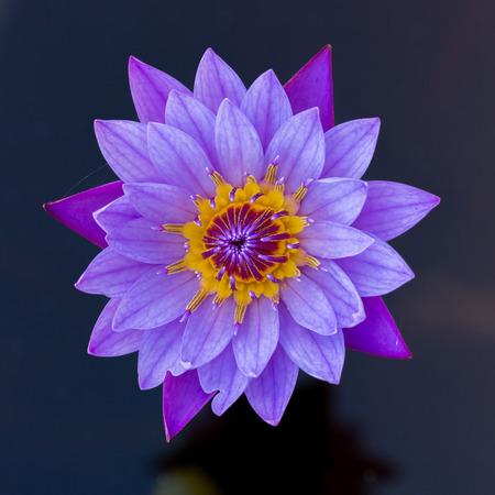 Nahaufnahme Von Weißen Lotus Blume Auf Schwarzem Hintergrund ...