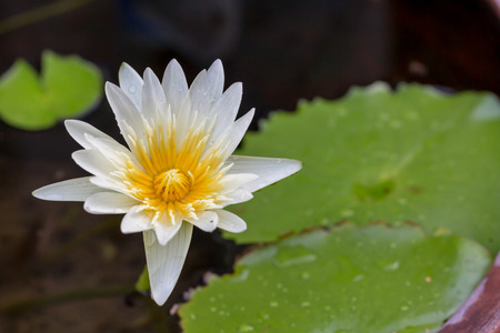 White lotus flower opened on a pond with yellow center and waterlilies around