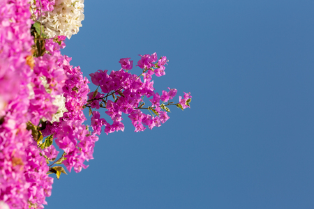 Colorful of Bougainvillea flowers in the nature.