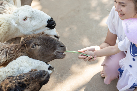 Mother and daughter are feeding food to sheep