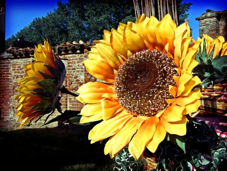 A couple of sunflowers in a courtyard