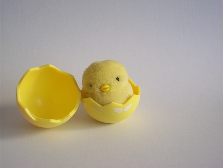 Yellow Chick with broken egg, isolaed on gray background
