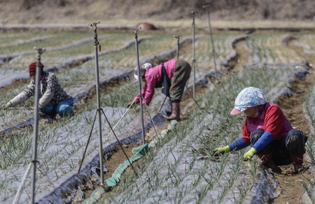 March 17, 2018-Hamchang, South Korea-Farmers seed potatoes and Spring Onion with a farm machinery at the field in Hamchang, south of Seoul (about 170Km) Gyeongbuk Province, South Korea. Farmers are busy with their work in the early spring. 新聞圖片