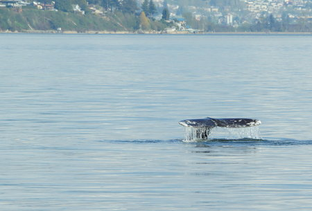gray whale: Gray Whale Stock Photo