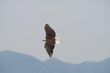 bald eagle: Banking Bald Eagle Stock Photo