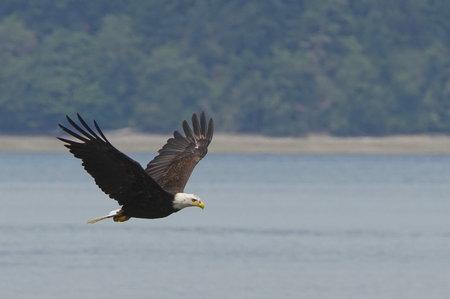 bald eagle: Bald Eagle on the Hunt for Fish Stock Photo