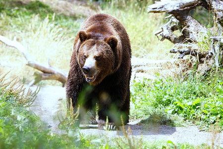 A big brown bear coming at you. Stock Photo