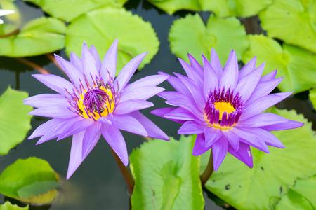 carpel: Lotus in Thailand