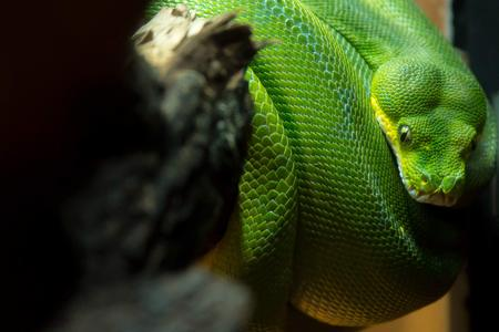 Green Python Snake coiled around a branch. Stock Photo