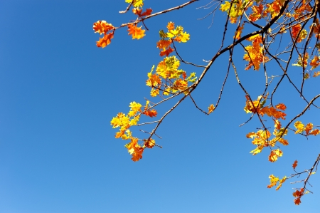 Autumn leaves on an oak tree branch in sunlight with blue sky and copyspace photo