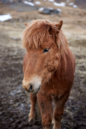 mane: Curious Icelandic horse with cute adorable fluffy mane in field outdoors