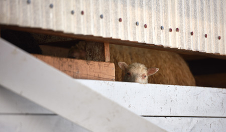 livery: Icelandic lamb peeping through walls of its birthing shed, authentic environment