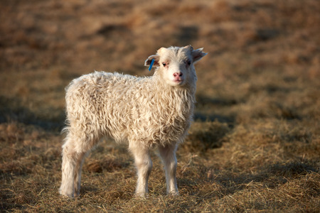 livery: portrait of a cute Icelandic lamb standing in a field, golden sunset