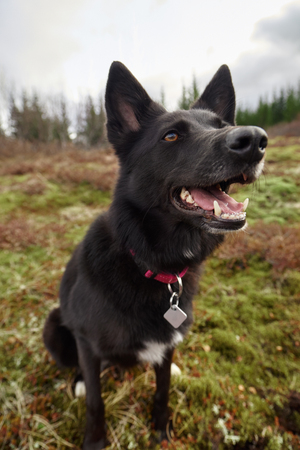 dignified: Portrait of a cute black dog with a red collar outdoors in a field park