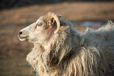 livery: portrait of an Icelandic sheep ram with thick fluffy wool standing in a field, golden sunset Stock Photo