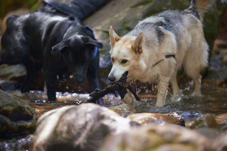 fetching: Happy dogs playing in the river, outdoors natural environment fetching a stick