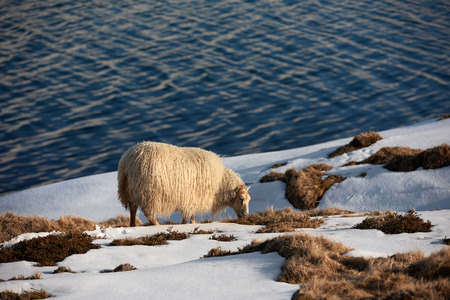 livery: Icelandic sheep with thick fluffy wool grazing on moss among rocks by the water in winter Stock Photo
