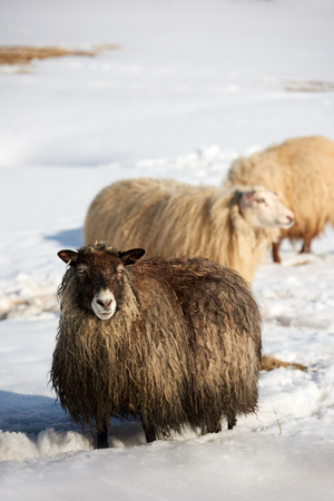 livery: Icelandic sheep with thick fluffy wool standing in thick snow Stock Photo