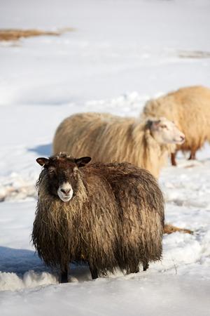pecora: pecore islandese con spessore di lana in piedi soffice di neve spessa
