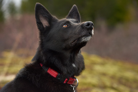 dignified: Portrait of a healthy black dog with a red collar outdoors in a field park