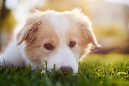 Download Fluffy Canine Adorable Dog - 80753935-portrait-of-cute-puppy-in-park-at-sunset-adorable-dog-pet-purebred-canine-pedigree-border-collie  Trends_486595  .jpg?ver\u003d6
